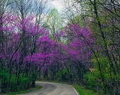 Spring Woodland Photography Nature Photo Purple Forest Fine Art Photograph Home Decor Wall Art Landscape Photo Trees Indiana