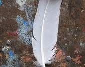 Grey Feather on a wooden surface, splattered with powder blue paint, original signed Fine Art photo print,  Photography print