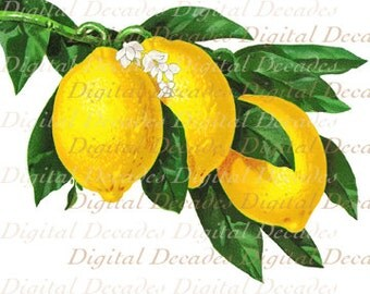 Lemons Fruit Blossom Flowers Vintage Art Illustration - Digital Image - Instant Download