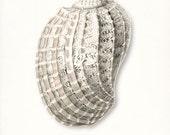 Coastal Decor Sea Shell Print No. 1 - Chestnut Turban Nautical Sea Shell Giclee Print 8x10