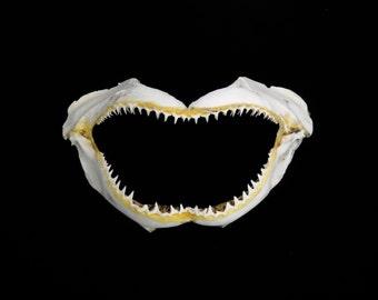 "HUGE 12""-14"" Shark jaw bone natural sea life teeth ocean beach nautical Hawaii white seashell decor gift"
