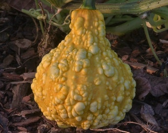 Organinc Heirloom 45 Seeds Cucurbita pepo Ornamental Gourd Ornamentalgourd Pumpkin Vegetable Seeds Garden F58
