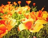 Poppy flower photograph, flowers, orange, green, California Fine Art Photograph