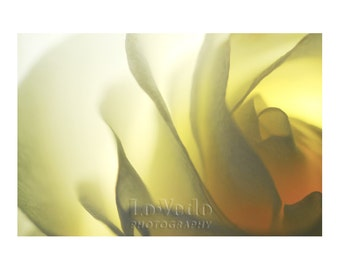 Lemon Pudding Rose Photograph, Vanilla Cream, Pale Yellow, Macro Photography, Gold Home Decor