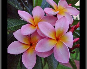 Plumeria Frangipani Pink & Orange Flowers live plant cutting/ FAIRY GARDEN