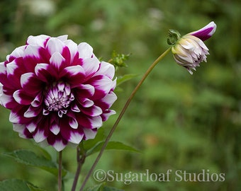 Purple White Dahlia 1 -- Fine Art Floral Photography Print -- Photo, Home Decor, Flowers, Art