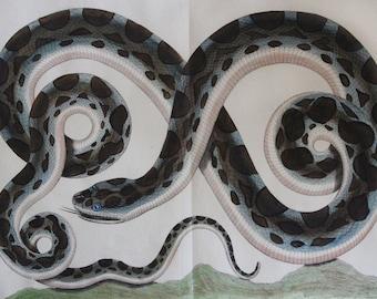 SALE-10% off original price-Antique Print  Abertus Seba Snake  -Original Hand Colored Copper Plate Engraving   Full Folio Size