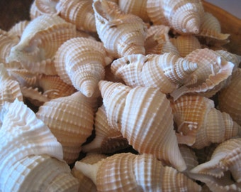 Ribbed Whelk Shells (3) - Beach Decor - Seashells-  Seashell Supply - Beach Wedding - Craft Seashells - Coastal Home Decor