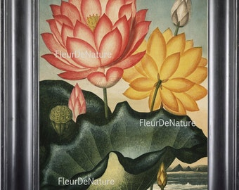 BOTANICAL PRINT THORNTON 8x10 Botanical Art Print 29 Beutiful Antique Large Pink Yellow Lotus Water Lily Waterlily  Plants to Frame