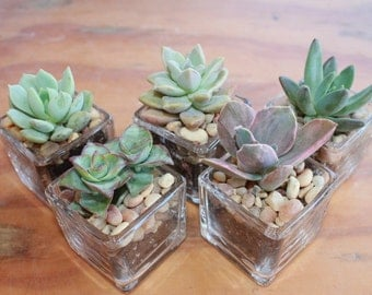 "55 DIY Wedding Collection Succulents in 2"" containers with Beautiful Square Glass Votives Complete Favor Kit succulents party gifts"
