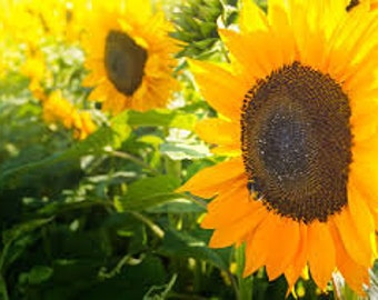 Heirloom Peredovik Russian Sunflower, Press Your Own Vegetable Oil or Use for Food Plots, 20 Seeds
