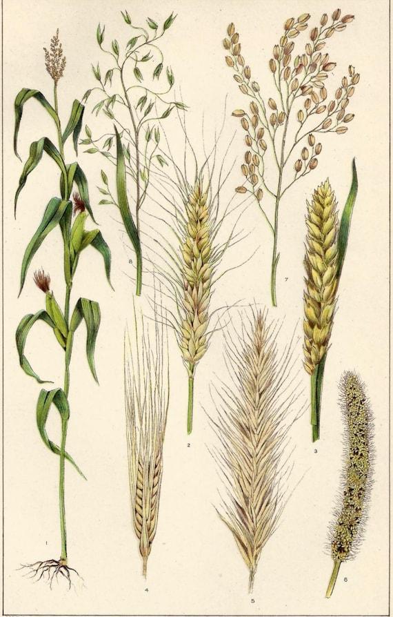 Wheat Botanical Drawing 1900s botanical print cerealsWheat Botanical Illustration