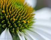 White Echinacea (Coneflower) Print - 8 x 10 nature photography