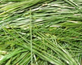Fresh Pine for tea, serving sized
