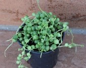 Succulent Plant. String of Pearls.  Senecio Rowleyanus. Made for  hanging baskets and trailing bouquets.