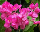 Antigonon leptopus 12 Seeds Coral Vine Oriental Love vine bright pink climber for sun or shade drought tolerant Easy to grow!