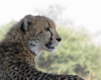 Wildlife Photography Cheetah Cub Profile Digital JPGInstant Download
