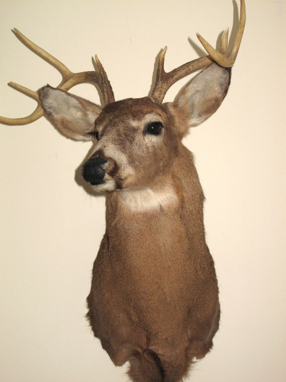 Taxidermy Deer Head 8 Point Buck Wall Mount