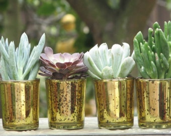 50 Wedding Favors Mini plants in Gold Glass Containers 2 inch pots