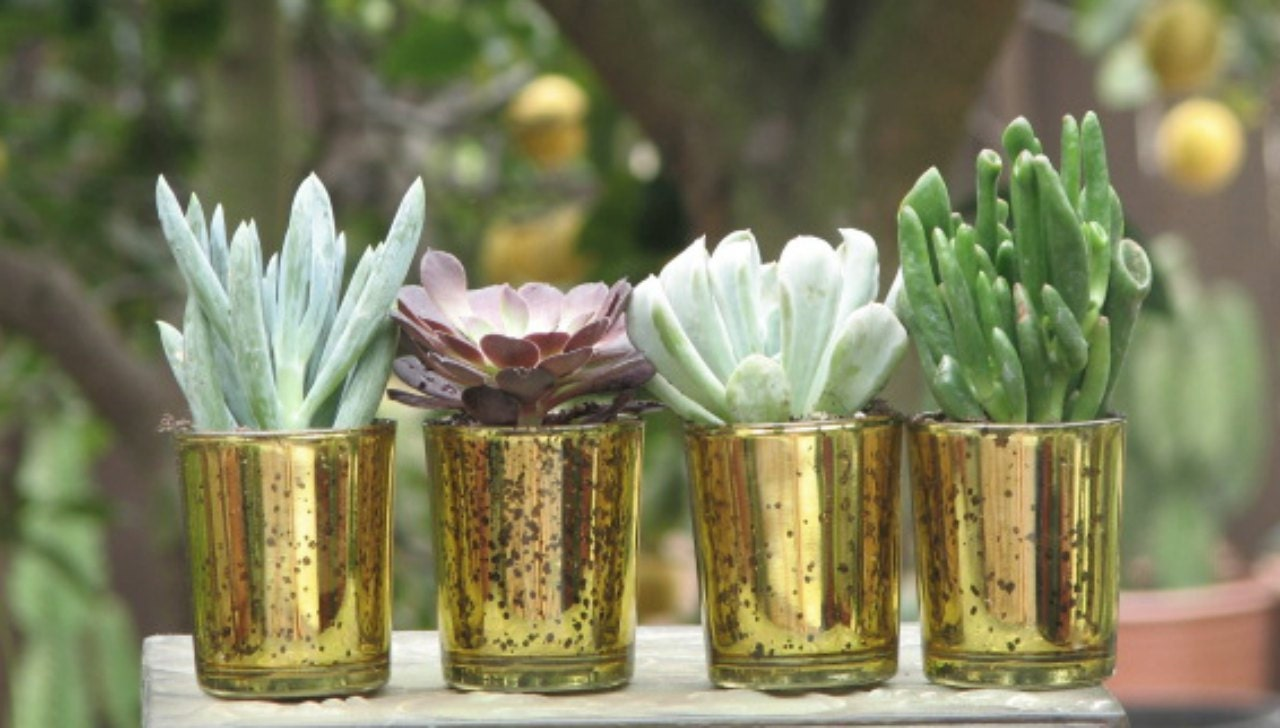 Mini Gold Plant : Wedding favors mini plants in gold glass containers inch