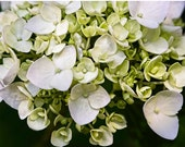 flower photograph flower photography fine art photography nature print wall decor, Hydrangea close up white and chartreuse