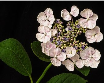 flower photograph flower photography fine art photography nature wall art print wall decor, Lacecap Hydrangea close up, blush lavender green