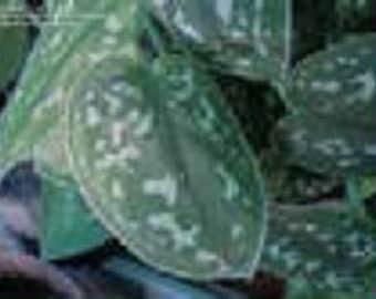 Silver Spotted Satin Pothos Starter Houseplant