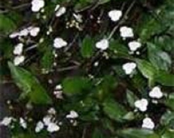 White Blooming Tahitian Bridal Veil Trailing Houseplant Starter Plant