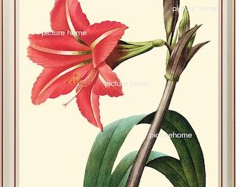 Red Amaryllis Botanical Print 2 Beautiful 8X10 Antique Redoute French Botanical Art Print Home Decor Graden Nature to Frame