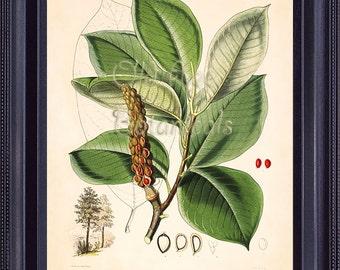 Botanical Vintage Print 8x10 Antique Art Illustration MAGNOLIA Tree Botany Large Green Leaves Bright Red Seeds Spring Garden SERIES 2 BF0405