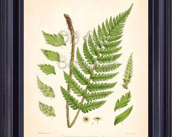 Fern Print FITCH 8x10 Botanical Vintage Inspired Antique Art Plate POLYSTICHUM Green Leaves Plant Room Wall Decoration Decor FC0408