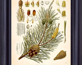 KOHLER Botanical Print 8x10 Vintage Art SCOTCH Pine Large Shoots Cones Acorns Coniferous Tree Antique Plate Chart Home Decoration BF0709