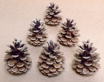 15 Medium Size Austrian Pine Cones For Art, Crafts, and Home Decor