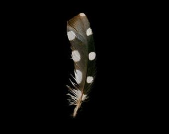 Spotted Woodpecker Feather Portrait Polka Dot Photography - Bird - Fine Art Photograph - Nature Photograph - Black Background