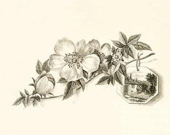 DOGWOOD Blossoms Sprig Branch - SPRING - Instant Download Vintage Image - pen and ink drawing