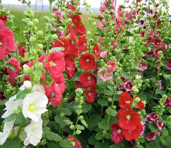 Hollyhock Chater's Double Mix Flower Seed 35 Seeds By