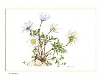 "Print ""Pulsatilla alpina""-series high-altitude Flora and Maria Rita's Lineage"