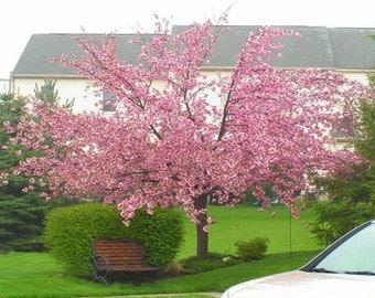 5 Seeds Japanese Flowering Cherry Tree Seeds Prunus serrulata