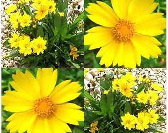800 x Lance Leaf Coreopsis Seed - Coreopsis lanceolata Flower Seeds ~ HARDY PERENNIAL