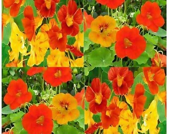 NASTURTIUM Flower Seeds - Edible Tropaeolum nanun - Spurred, flat-faced trumpet - Used In CAKE And BAKERY