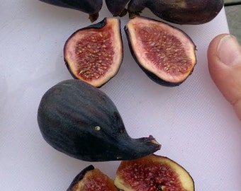 """Hirt's Hardy Chicago Edible Fig Plant - Ficus - Hardy - 2.5"""" Pot"""