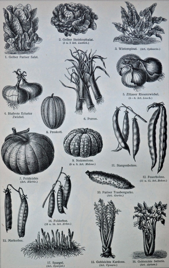 Vegetables. Old book plate, 1904. Antique illustration. 110 years lithograph. Botany print. 9'6 x 6'2 inches.