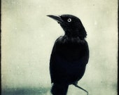 Crow, Raven, Halloween Art, Gothic Decor, Spooky Fine Art Photo, Black Bird Print, Fine Art Photography Print, Grackle No. 6