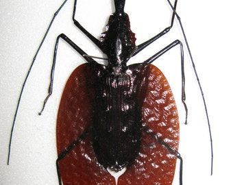 OVERSTOCK: Large Violin Beetles, Mormolyce phyllodes  Real
