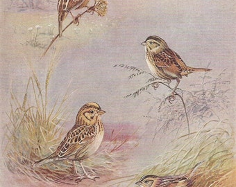 Vintage Bird Print, Book Plate, Sparrows, Grasshopper Sparrow, Henslow Sparrow, Allan Brooks, Antique Bird Illustration, 1930s