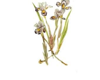 Flower Print - Dwarf Iris - Vintage Art Print - Botanical Book Plate, Print - Wild Flowers of America - Crested Iris - Mary Vaux Walcott