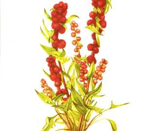 Flower Print - Strawberry Blite - Vintage Art Print - Botanical Book Plate, Print - Wild Flowers of America - Ginger - Mary Vaux Walcott