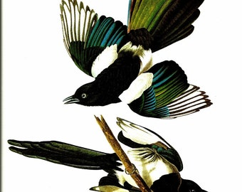 Bird Print - Black Billed Magpie - Vintage Art Print - Audubon Book Plate, Print - Blackbird - Birds of America - John James Audubon - 1970s