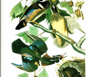 Bird Print - Drake Wood Duck - Vintage Art Print - Audubon Book Plate, Print - Wood Duck - Birds of America - John James Audubon - 1970
