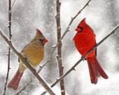 50 Postcards Snowy Cardinals Birds Male & Female Art Photo Christmas Holiday Greeting Post Cards